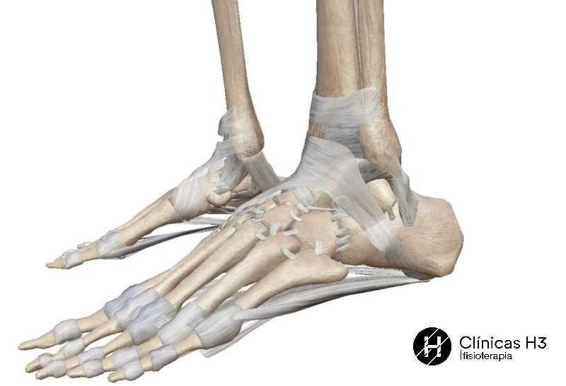 Cómo es un pie por dentro huesos y ligamentos - Clínicas H3