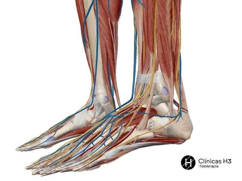 Tratamiento esguince de tobillo. Pie completo con la musculatura, vasos sanguíneos y linfáticos, sistema óseo y ligamentos.